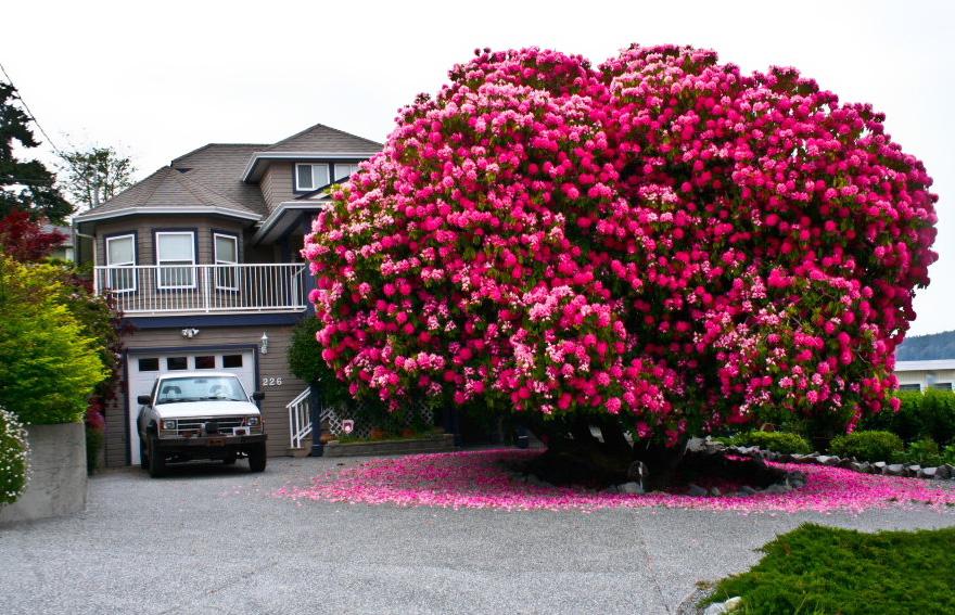 rhododendron-tree-kitchener-street-ladysmith-canada-2